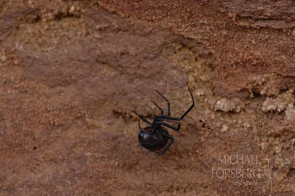 Caprock escarpment, Texas panhandle. Black-widow spider making web along canyon wall near Pole Canyon Creek.