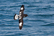 Cape Petrel, New Zealand