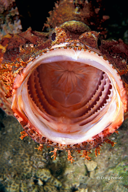 tasseled scorpionfish yawning, Scorpaenopsis oxycephala, Surin Islands, Thailand, ( Andaman Sea, Indian Ocean  )