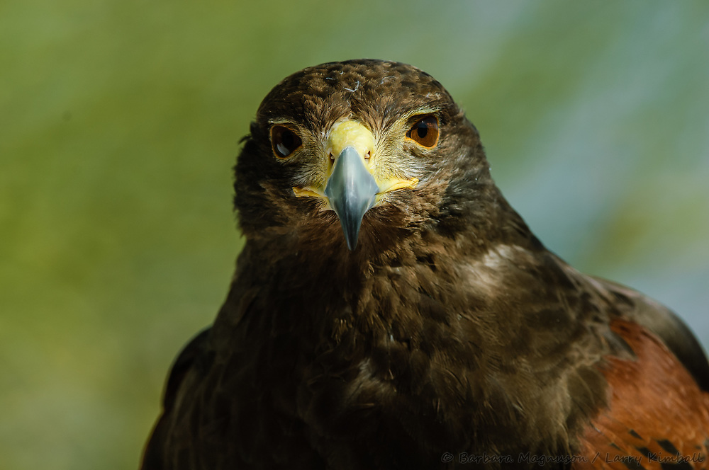 Harris Hawk [Parabuteo unicinctus, captive], Arizona Sonora Desert Museum, Arizona