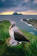 Gray-headed albatross chick, South Georgia Island