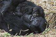 Mountain Gorilla<br /> Gorilla gorilla beringei<br /> Mother and 1 year old infant<br /> Parc National des Volcans, Rwanda<br /> *Endangered species