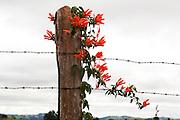 Munhoz_MG, Brasil...Cipo de Sao Joao (Pyrostegia Venusta) em uma cerca em Munhoz...Flame vine (Pyrostegia Venusta) on the fence in Munhoz...Foto: LEO DRUMOND / NITRO