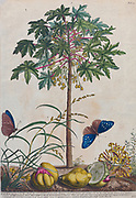 papaya (papaw or pawpaw) tree Engraving, hand-colored print of plants and butterflies from Plantae et papiliones rariores (rare plants and butterflies) by Ehret, Georg Dionysius, 1708-1770 Published in London in 1748