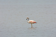 Salinas - Monday, Jan 14 2008: A Chilean Flamingo (Phoenicopterus chilensis) stands in a salt lake just outside Salinas, Ecuador. (Photo by Peter Horrell / http://www.peterhorrell.com)