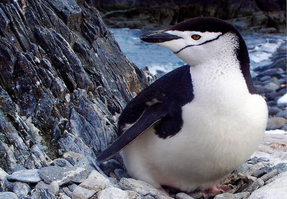 A Chinstrap penguin sitting on its nest.  The penguin was photographed in Antarctica.