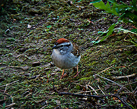 Chipping sparrow outside my window. Backyard spring nature in New Jersey. Image taken with a Fuji X-T2 camera and 100-400 mm OIS lens (ISO 200, 400 mm, f/11, 1/30 sec).