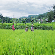 Women working at the rice fields in the Kathmandu valley, outside Kathmandu, Nepal