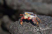 Foam comes out of a Sally Lightfoot crab in Urbina Bay, Isabela island, Galapagos islands.