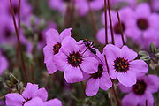 An ant, covered in pollen, is pollinating a Linum pubescens, (the hairy pink flax), flower while collecting nectar. The plant is annual and blooms in the spring. Photographed at the Lotz Cisterns in The Negev Desert Israel in March