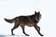 831F, a young female member of Yellowstone's famed Canyon Pack, makes her way through the snow in  pursuit of her siblings. 831F bares a striking resemblance to her father, 712M, the alpha male of the Canyons.  Unfortunately, a little more than a week after this photo was taken, 831F was unjustly killed by a rancher's bullet as she wandered outside the gates of Yellowstone.  She will be missed.