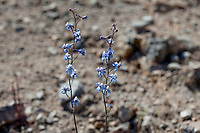 Delphinium parishii (Desert larkspur) at Homewood Canyon, Inyo Co, CA, USA, on 15-Apr-17
