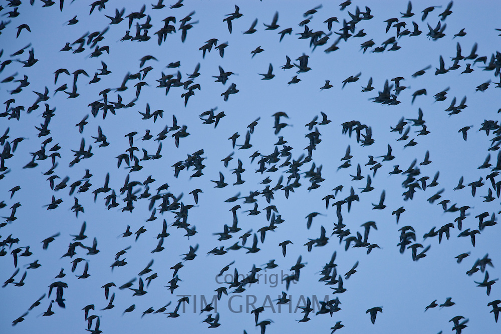 Flock of Knots at dusk