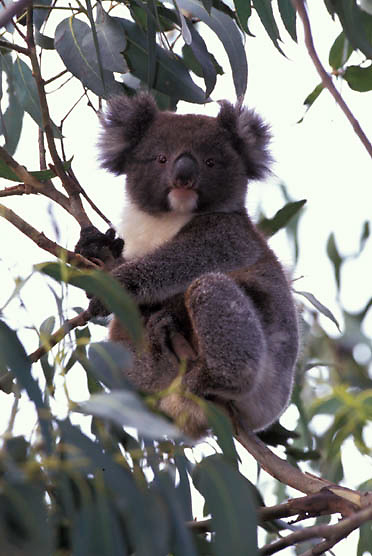 Koala, (Phascolarctos cinereus) Australia.