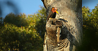Helmeted Hornbill (Rhinoplax vigil) male perched above a potential nest cavity, while his mate investigates this potential nest site.  Location is a remote, undisclosed forest in West Kalimantan Province, Indonesia, on the island of Borneo.   Nest tree is a large dipterocarp, the usualy choice for Helmeted Hornbills, who need large old trees to find the cavities they need for nesting.  (IMPORTANT NOTE: Indonesian authorities are concerned about revealing nest location in the media because of poaching.  We have committed to not revealing location beyond the province level.)