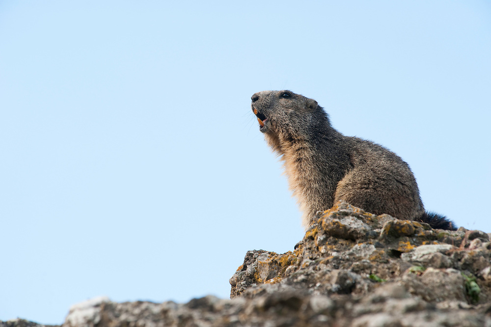 Alpine marmot sounding alarm note, Marmota marmota, Guillestre, Queyras, France, Europe