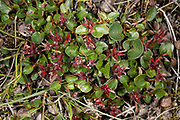 Dwarf Willow (Salix herbacea) from Adventdalen, close to Lonyearbyen, Svalbard in August 2012.