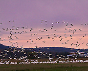 Migrating snow geese at Dead Creek, Addison, VT