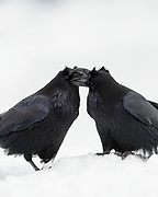 Courting Common Ravens (Corvus corax), Yellowstone National Park, Wyoming