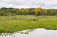 Riverine forest in the Pantanal with yellow flowering Cambara trees (Vochysia divergens), Mato Grosso, Brazil