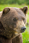 A grizzly bear poses at the Alaska Wildlife Conservation Center