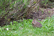 A young  Eastern Cottontail (Sylvilagus floridanus) eating the dandelion leaves in a backyard garden.  The adults can be approximately 44cm (17 in) long, but this little one was only about 15cm (6 in).