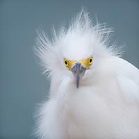 Snowy egret (Egretta thula) gets his feathers ruffled by ocean breezes. Sanibel Island, FL.