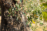 Ripe green olives in olive grove in Val D'Orcia, Tuscany, Italy