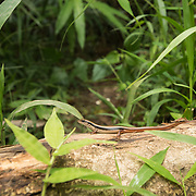 Indian Forest Skink (Sphenomorphus indicus) juvenile in situ in Kaeng Krachan national park, Thailand