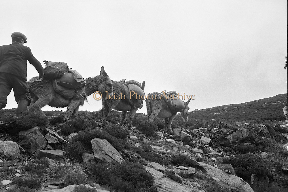 Farmers use donkeys to transport sand and cement up Croagh Patrick for work on the exterior of the Oratory. Climbing up the rough gorges..15-17.05.1962