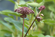 Angelica gigas Nakai grown by Jean Giblette at High Falls Gardens, Claverack, NY