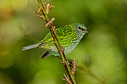 Spotted Tanager, South America