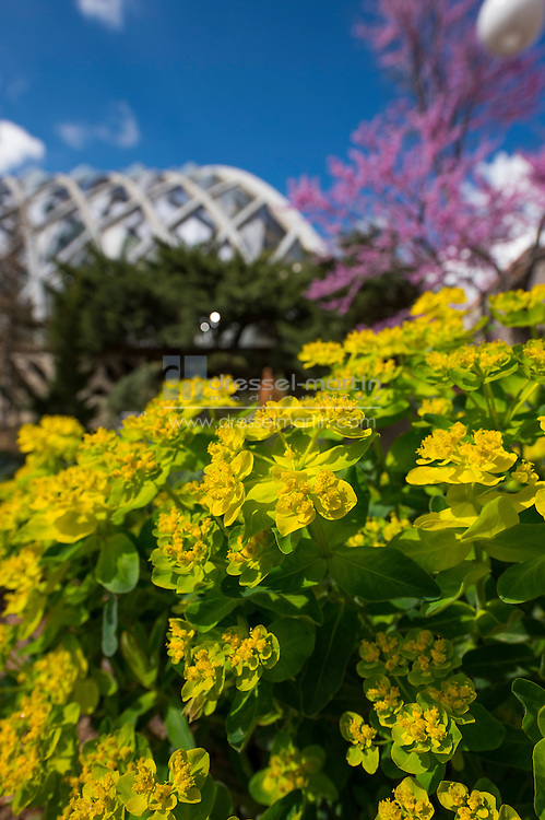 candy cushion spurge euphorbia polychroma gardens spring flowers and people