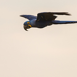 Hyacinth macaw in flight, Pantanal, Brazil.
