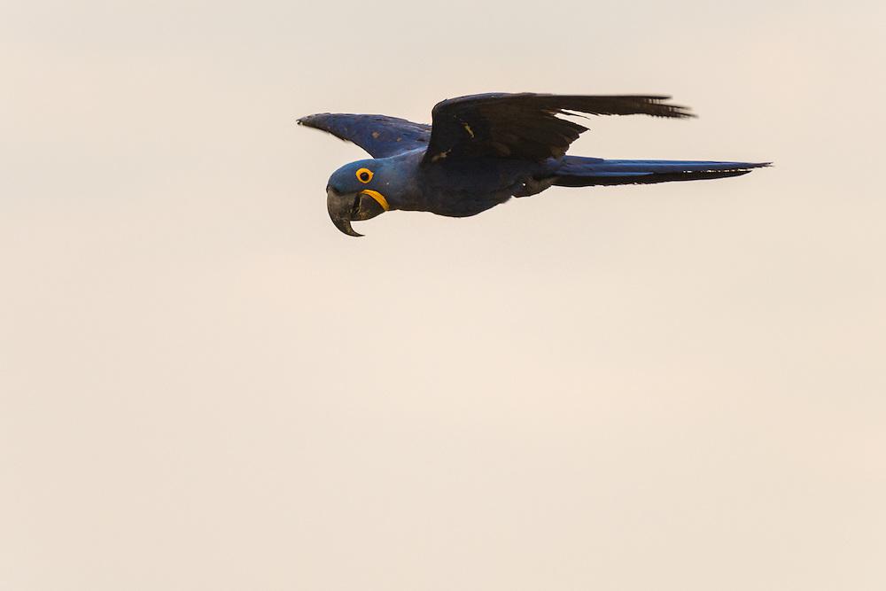 Hyacinth macaw in flight, Pantanal, Brazil.
