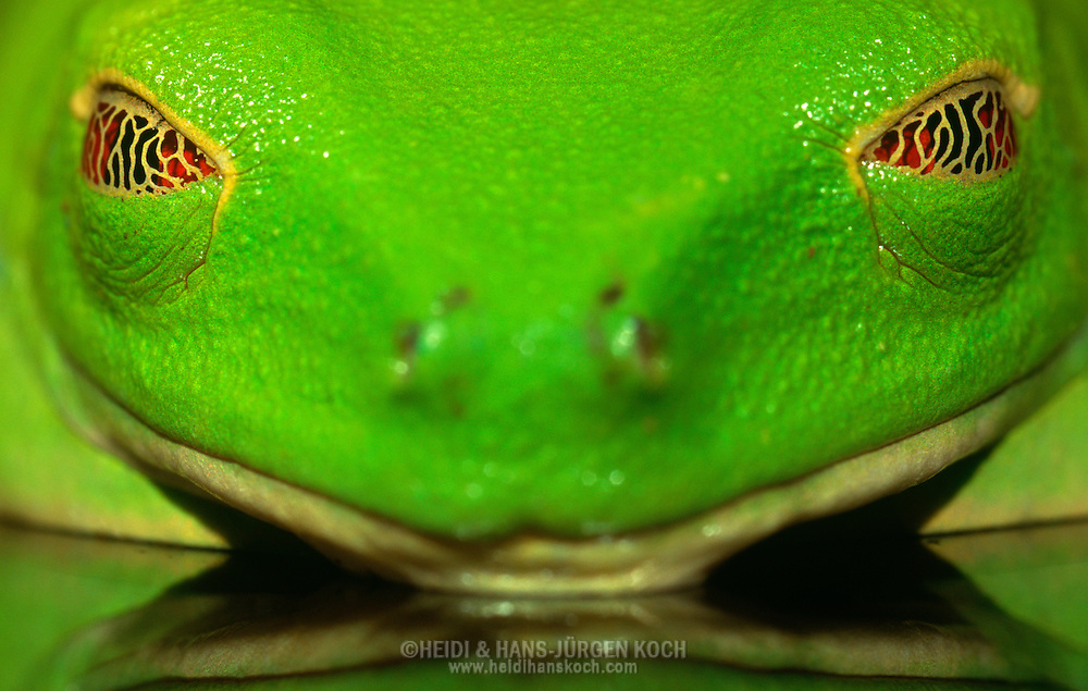 Sleeping Red eyed tree frog | Heidi & Hans-Juergen Koch