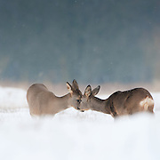 Interaction between two Roe deer (Capreolus capreolus) in the snow covered dunes of the Amsterdamse waterleidingduinen, The Netherlands.