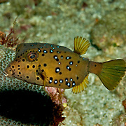 Yellow Boxfish inhabit reefs. Picture taken Beangabang Bay, Pantar and Alor, Indonesia.