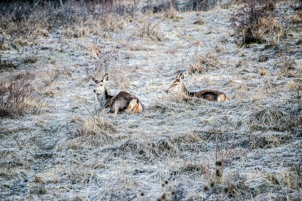 16 February 2017, Villetta Barrea - Deers on roadside near the village of Villetta Barrea.