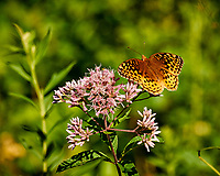 Great Spangled Fritillary on a Joe Pye Flower at the Sourland Mountain Preserve. Image taken with a Nikon 1 V3 camera and 70-300 mm VR lens (ISO 200, 183 mm, f/5,6, 1/640 sec).
