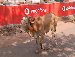 Bullock on the road with mobile phone adverts in background, Goa.