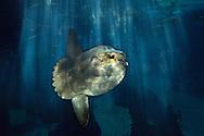 PRT, Portugal: Oceanario de Lisboa, das zweitgroesste seiner Art weltweit, Mondfisch (Mola mola), der groesste Knochenfisch der Welt, Lissabon, Lissabon   PRT, Portugal: Oceanario de Lisboa, the second largest world wide, Ocean sunfish (Mola mola), is the largest bony fish in the world, Lisbon, Lisbon  