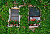 A very picturesque shot of two windows with red geramiums in an ivy covered wall in Venice, Italy