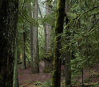 Mist hangs in the mossy old-growth forest of Goldstream Provincial Park near Victoria, BC