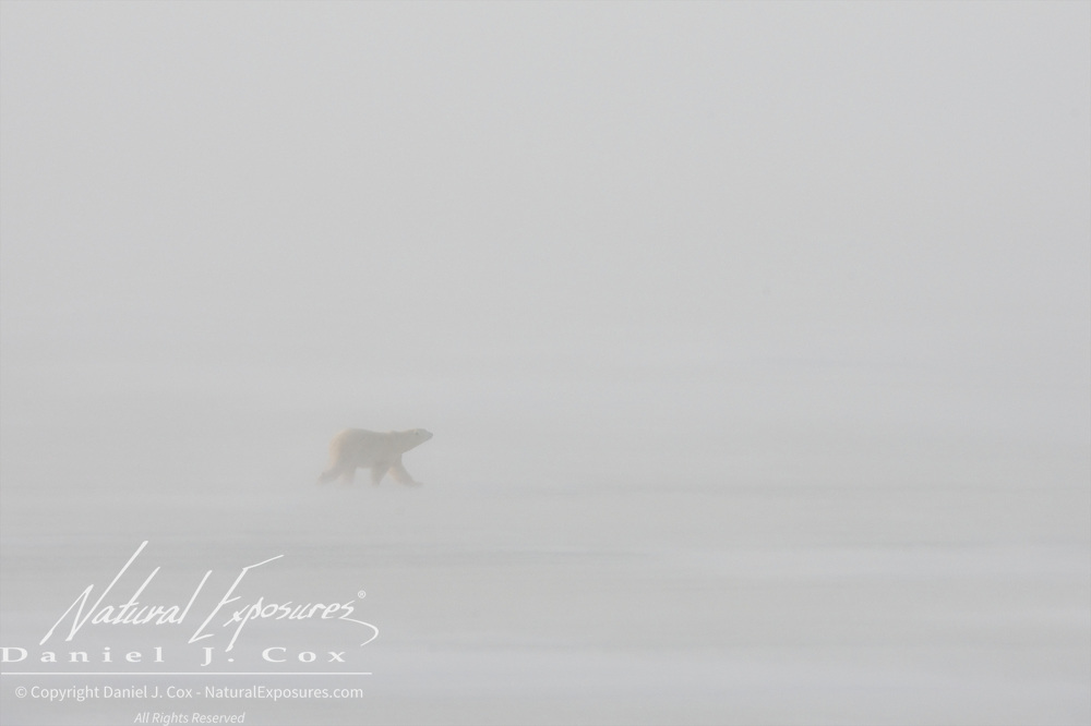 A young Polar Bear walks the frozen lake in a driving, blowing gale near Cape Churchill. Manitoba.