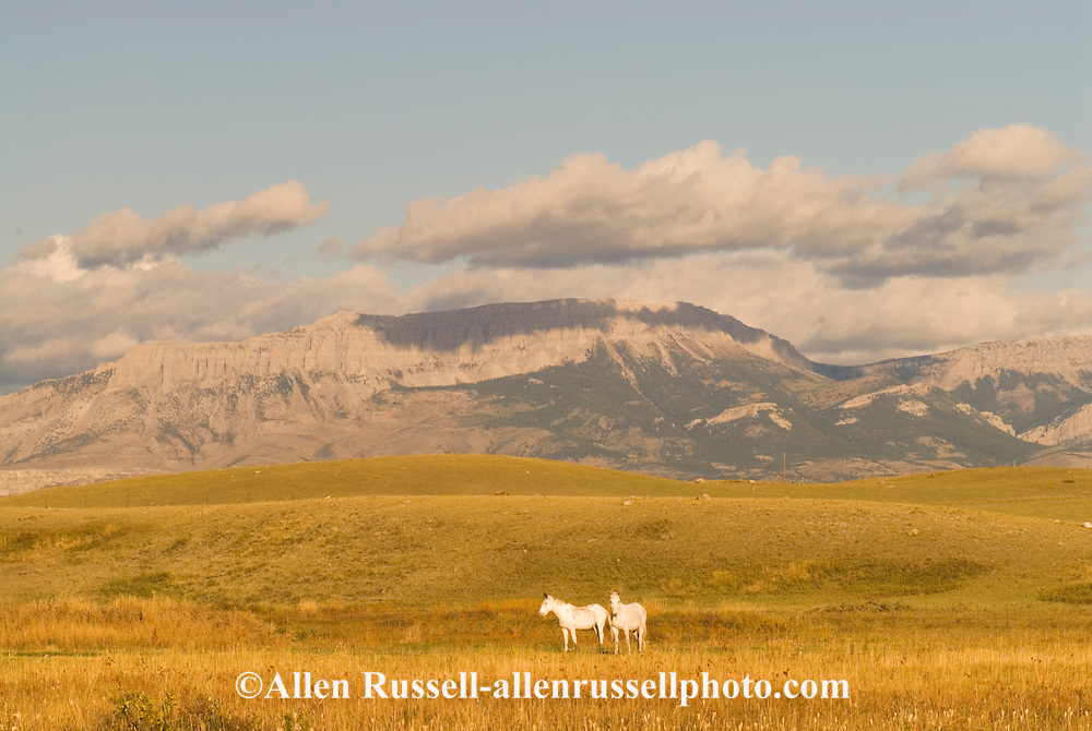 White mules graze below Castle Reef, Rocky Mountain Front, Lewis and Clark National Forest, NE of Augusta Montana
