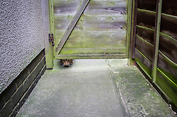 Tabby cat looking under a wooden gate, Leicester, England, UK.