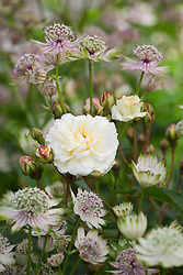 Rosa 'White Pet' with astrantia in the Old Garden at Hidcote Manor