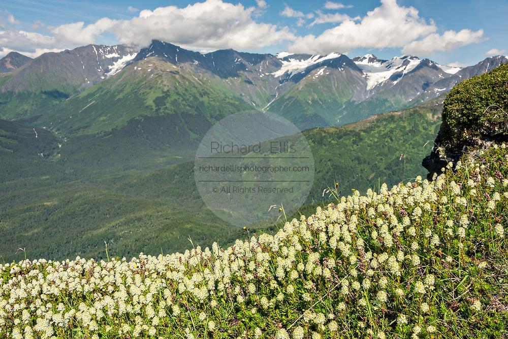 Wildflowers in Chugach Mountains on Mt. Alyeska in Girdwood, Alaska.