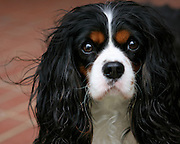 Image of a cavalier king charles spaniel